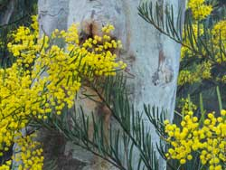 Scribley Gum and Hamilton's Wattle