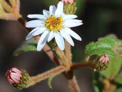 Oak-leaved Olearia