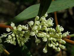 Willow-leaved Hakea
