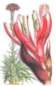 Doryanthes