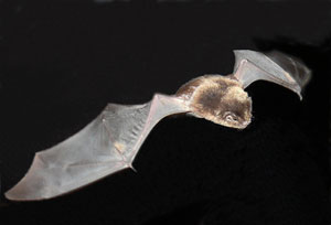 Eastern Bent-winged Bat