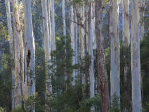 Massed trunks, Blue Gum Forest