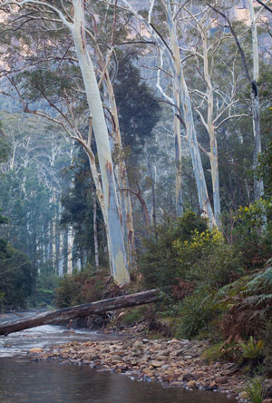 Mountain Blue Gums on the Grose River