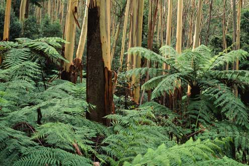 Wet sclerophyll forest, Mount Wilson